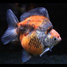 画像2: 中国金魚 ダルマ五色 (2)