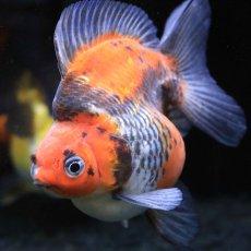 画像3: 中国金魚 ダルマ五色 (3)