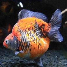 画像1: 中国金魚 ダルマ五色 (1)