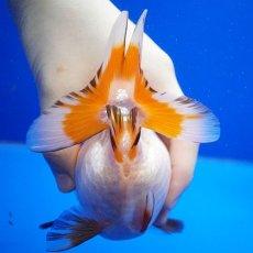 画像5: 【特価】中国金魚 ダルマ琉金 更紗12cm (5)