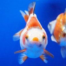 画像4: 【特価】中国金魚 ダルマ琉金 更紗12cm (4)