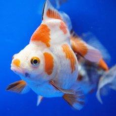 画像3: 【特価】中国金魚 ダルマ琉金 更紗12cm (3)