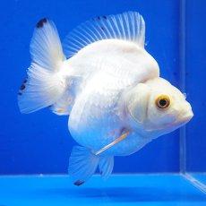 画像2: 中国金魚 ダルマ琉金 白12cm (2)