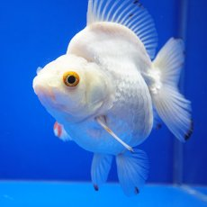 画像3: 中国金魚 ダルマ琉金 白12cm (3)