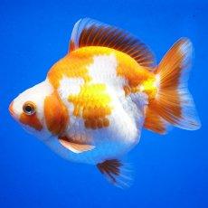 画像1: 中国金魚 ダルマ琉金 更紗12cm (1)