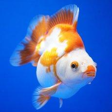 画像3: 中国金魚 ダルマ琉金 更紗12cm (3)
