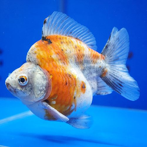 画像1: 中国金魚 ダルマ琉金 キャリコ12cm (1)