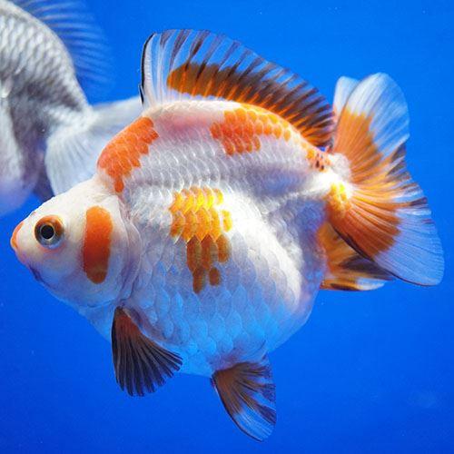 画像1: 【特価】中国金魚 ダルマ琉金 更紗12cm (1)