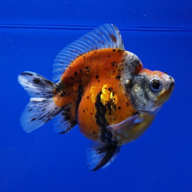 画像1: 中国金魚 ダルマ琉金 銀鱗五色11cm (1)